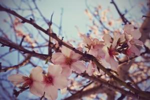 Mandelblüte.(c)prinzette